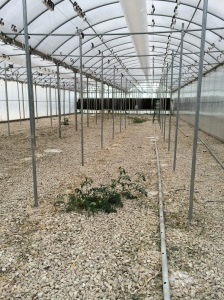 One lonely volunteer tomato plant remains in the greenhouse, left behind to attract the remaining spider mites in an effort to eradicate them. Both tomato greenhouses will now need to be sterilized before a new crop can be put in