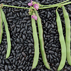 Cherokee Trail of Tears bean. Photo courtesy of Seed Savers Exchange