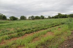 12 acre garden maintained by hand by the Ponca Agricultural Program. Photo by Angelo Baca