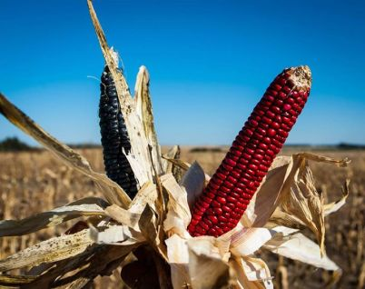 Blue and Red corn harvested on October 29 by Bold Nebraska representatives