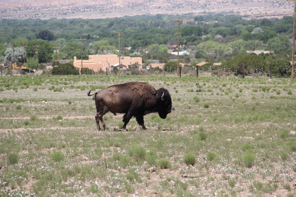 Buffalo bull. Photo by Angelo Baca