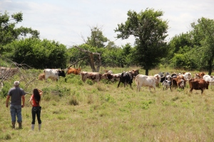 Ponca agricultural program's herd of longhorn and black angus cattle