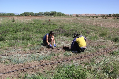 Tesuque farm employee Eberth Reynolds instructing me on weeding the asparagus patch. Photo by Angelo Baca