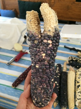 """Bear corn"". When one of these unusual corns is found, the husker will bless themselves with it. Photo by Elizabeth Hoover"