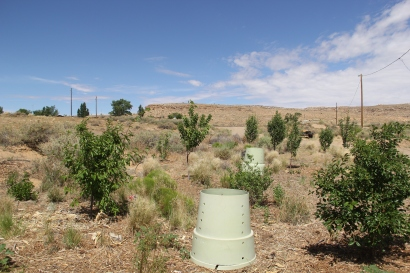 Planted all around the house are 85 young fruit trees, that will someday bear cherries, apples, pears, apricots, nectarines, peaches ,currants , and gooseberries. Hopi Tutskwa Permaculture receives a grant every year from Fruit Tree Planting Foundation
