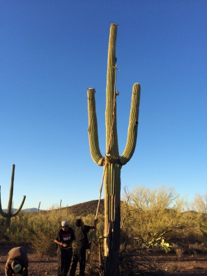 Harvesting bahidaj from a saguaro cactus. Photo by Elizabeth Hoover