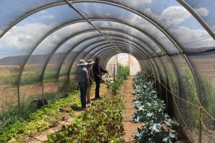 The lettuce grown in this shade house is sent to the Rainbow Treatment Center, the tribal drug and alcohol rehabilitation center that has a 24 hour salad bar for its clients. Photo by Angelo Baca