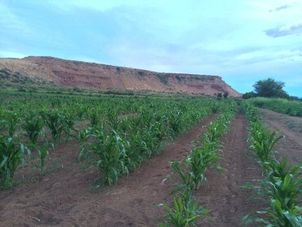 Hopi corn grown by Manny Talasmaynewa in Moenkopi Village, a Hopi community about 50 miles northwest of Kykotsmovi Village. Photo by Elizabeth Hoover