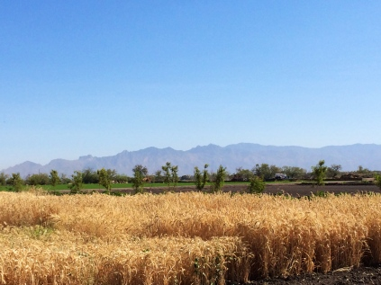 Test plot with 150 different grain varieties. Photo by Elizabeth Hoover