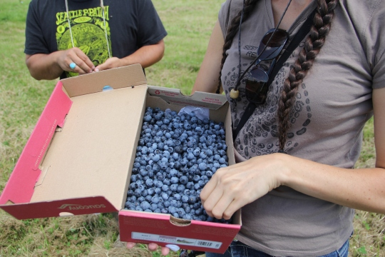 Blueberries we picked. Photo by Angelo Baca