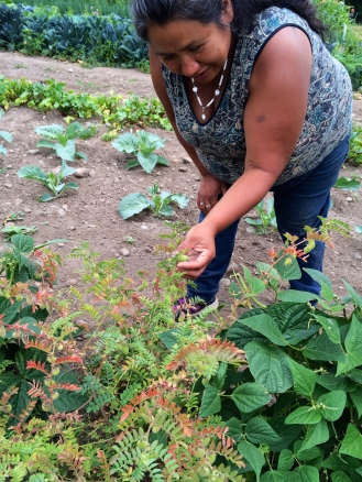 Grace inspecting a garbonzo bean bush. Photo by Elizabeth Hoover