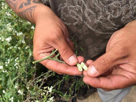 Joe Miller inspecting radish seeds. Photo by Elizabeth Hoover