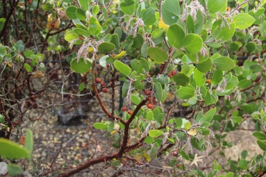 Manzanita berries, one of the wild plants that will be encouraged in the ethnobotanical garden. The berries (which look like tiny apples) are crushed to make a traditional California Indian cider and jam. Photo by Angelo Baca