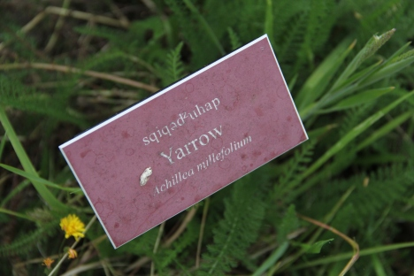 Tri-lingual (English, Lushutseed and Latin) signs in the herb garden. Photo by Angelo Baca