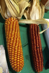 Basque Red Corn. Photo by Elizabeth Hoover