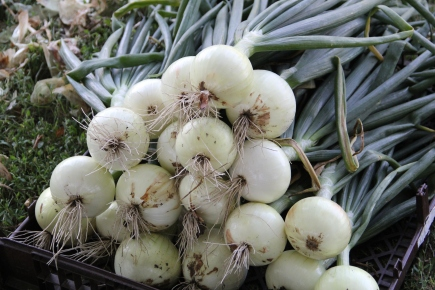 Onions from the Winyan Toka Win Garden. Photo by Angelo Baca