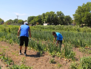 Garden interns Nate and Luta picking onions. Photo by Angelo Baca