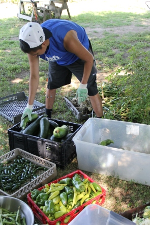 Garden intern Nate sorting and weighing fresh picked vegetables. Photo by Angelo Baca