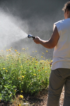 Annette watering the calendula. Photo by Angelo Baca