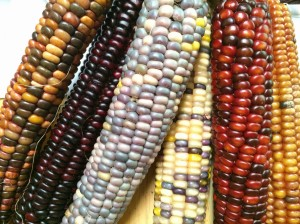 Bear Island Flint corn. Photo by Elizabeth Hoover