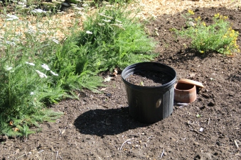 Yarrow patch, with a clay pot that's been buried underground to help with irrigation. Photo by Angelo Baca