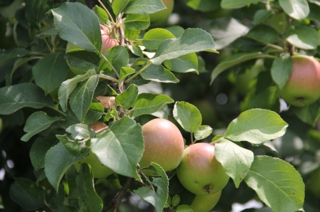 Apples in the Wozupi orchard. Photo by Angelo Baca