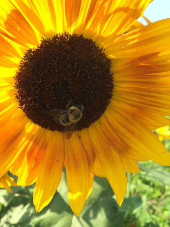 Honey bee on a heritage variety sunflower. Photo by Elizabeth Hoover
