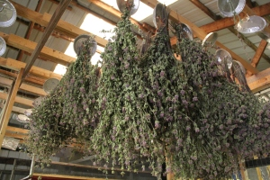 Bergamot drying in the barn. Photo by Angelo Baca
