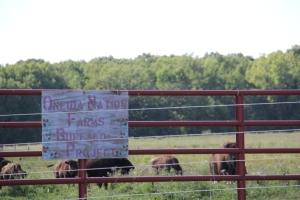 Oneida Nation Farm buffalo. Photo by Angelo Baca