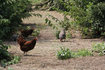 Chickens grazing for bugs in the Wazupi orchard. Photo by Angelo Baca