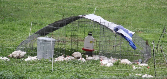 Organic chickens, hanging out in the 'chicken tractor.' Photo by Angelo Baca