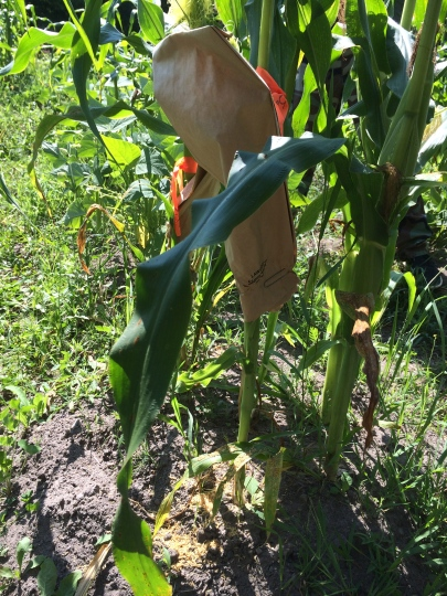 Bag of pollen placed over the ear of corn. Photo by Elizabeth Hoover