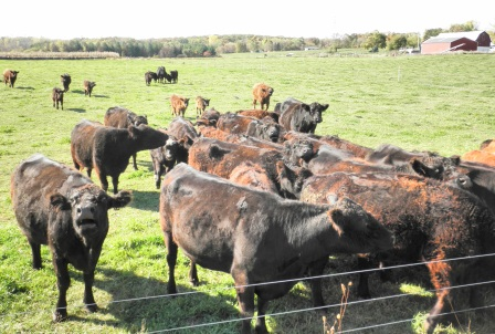 Tsyunhehkwa also maintains a herd of about 80 grassfeed cows. Photo by Elizabeth Hoover (October 2013)