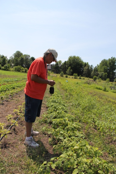 Ernie Whiteman, DOWH Cultural Director, eyeing the ground cherries. Photo by Angelo Baca