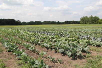 Brassicas growing in the 13 acre Wozupi garden. Photo by Angelo Baca