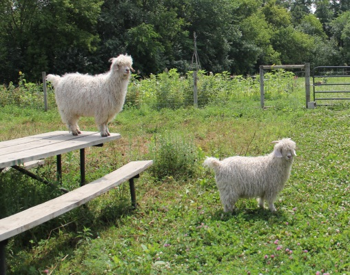 "Kinnikinnick and Koda (Dakota for ""friend"") the angora goats. Photo by Angelo Baca"