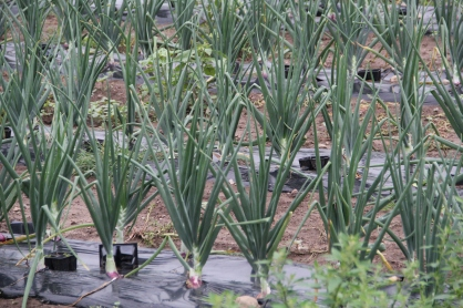 Organic onions, which will go towards local students' lunches. Photo by Angelo Baca