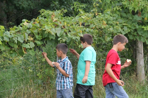 Picking wild grapes. Photo by Elizabeth Hoover