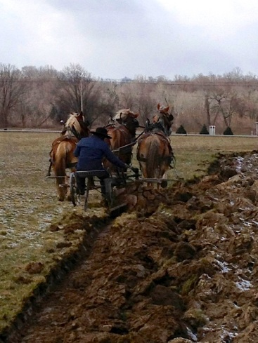 Amish farmer plowing up the lawn at the Cattaraugus Community Center, where white corn was then planted. Photo courtesy of Ken Parker