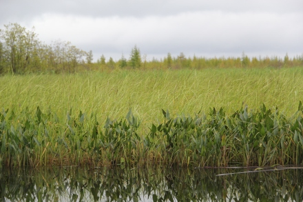 Arrowroot is one of the plants the wild rice has to compete with. Photo by Angelo Baca