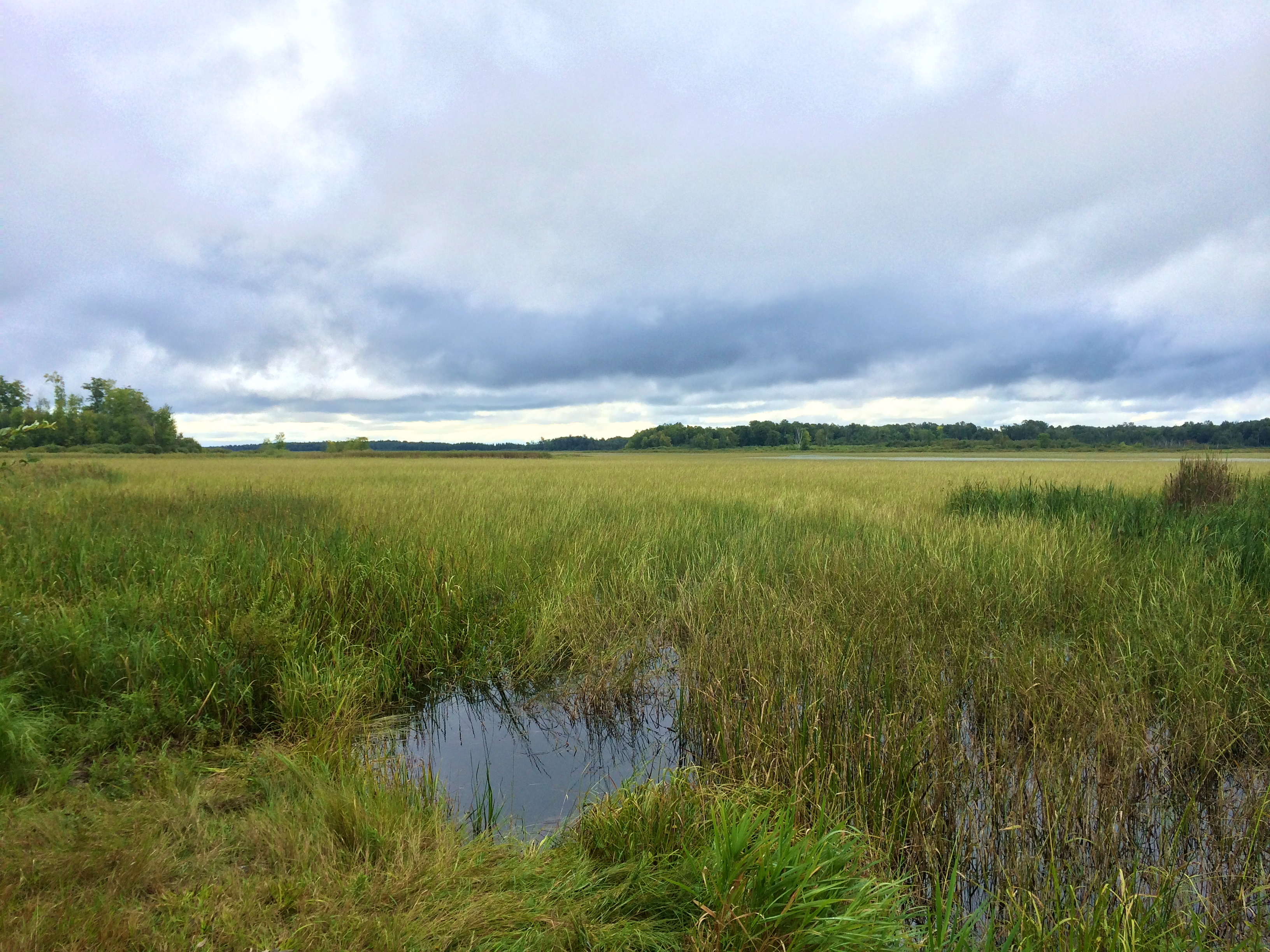 how to grow wild rice in minnesota