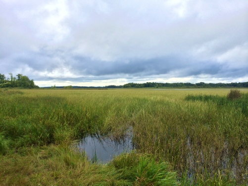Stands of wild rice on Kettle Lake, Fon du Lac. Photo by Elizabeth Hoover, 8/30/14