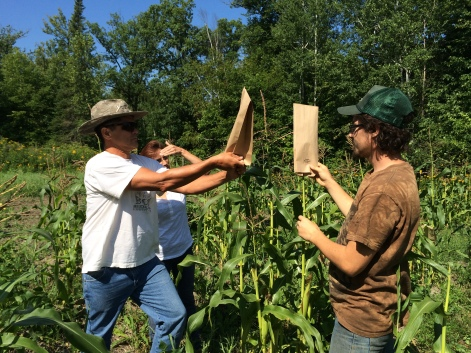 Zach teaching Stan Alexander how to hand pollinate corn, but first collecting pollen from the corn tassel. Photo by Elizabeth Hoover