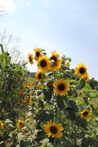 Heritage sunflowers at the DOWH farm. Photo by Angelo Baca