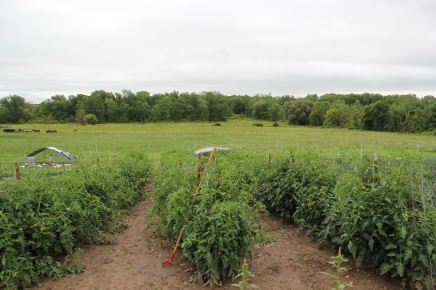 Tomato garden. Photo by Angelo Baca