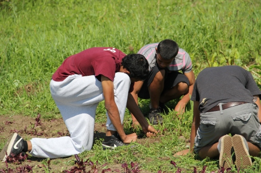 Chauncy, Dwayne and Jonathan weeding beets. Photo by Angelo Baca