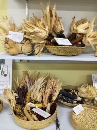 Corn display in the Native Seeds/SEARCH office. Photo by Elizabeth Hoover