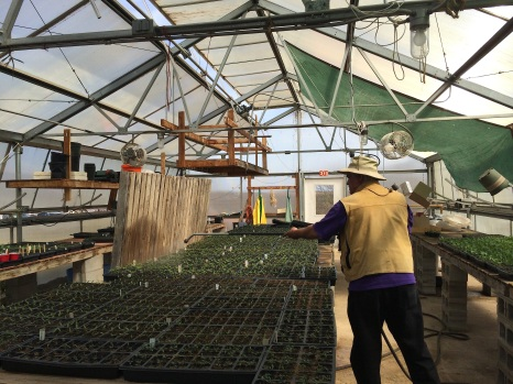 Don Charnon (Oneida), watering plants in the Tsyunhehkwa greenhouse. Photo by Elizabeth Hoover